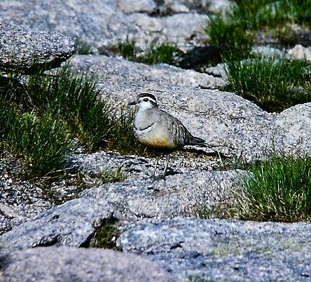 Dotterel 01a, Cairn Gorm, 10-7-77.jpg