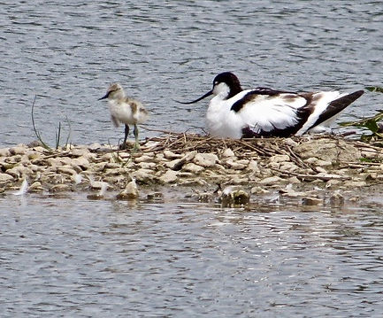 Avocet 08a, & chick, Slimbridge, 26-6-13