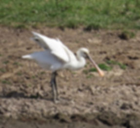 Spoonbill 180624-01, Slimbridge, 24_6_18