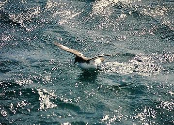 Cape Petrel 01a, Stewart Is NZ, 17-11-93