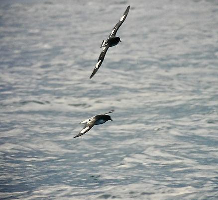 Cape Petrel 07a, Stewart Is NZ, 17-11-93