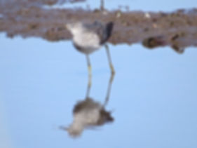 Lesser Yellowlegs 190326-18, Lodmoor.jpg