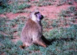 Yellow Baboon 01a, Tsavo, Kenya, 4_12_88