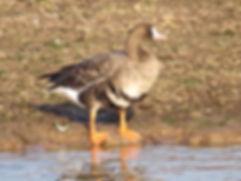 White-fronted Goose 181122-4, Slimbridge