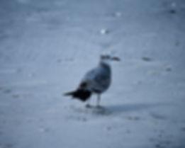 Laughing Gull 06a, Carolina, 31-10-87.jp