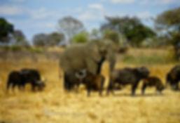 African Elephant 12a, Zimbabwe, 9_98.jpg