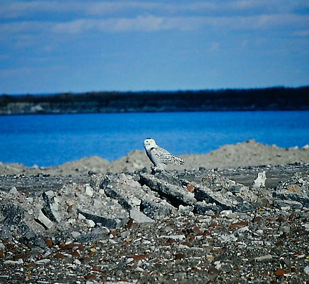 Snowy Owl 01a, Toronto, 14-11-87.jpg