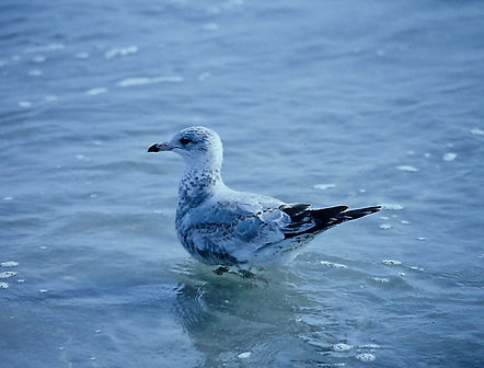 Ring-billed Gull 05a, Carolina, 31-10-87