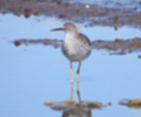 Lesser Yellowlegs 190326-10, Lodmoor.jpg