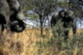 African Elephant 30a, Zimbabwe, 9_98.jpg