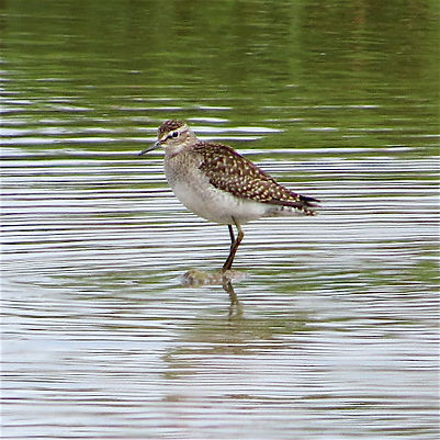 Wood Sandpiper 17810, Slimbridge, 8_8_17
