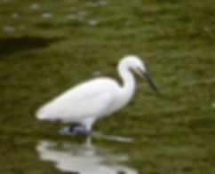 Little Egret 03a, Looe, 7_12_13.jpg