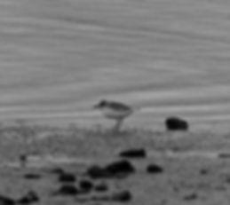 Greater Sandplover 10aa, CVL, 19_11_79.j