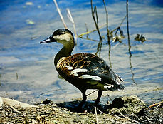 Wandering Whistling Duck 02a, Cairns, 11