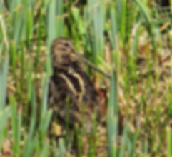 Snipe 180907-1, Slimbridge, 7_9_18.jpg