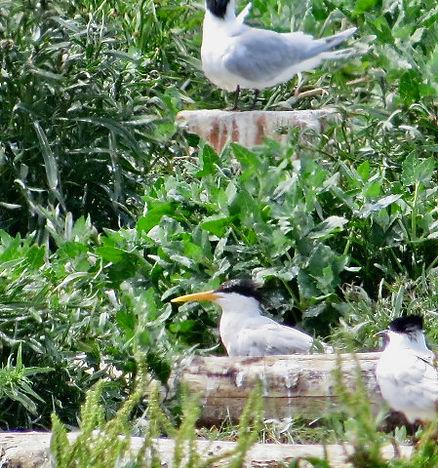Elegant Tern 01, Cemlyn Bay, 8-7-21.jpeg