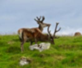 Red Deer 02, North Uist, 9_6_19.jpg