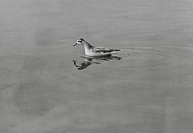 Grey Phalarope 33a, Cheddar, 16_10_76.jp