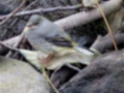 Grey Wagtail 17_7-06, Snuff Mills, 19_7_