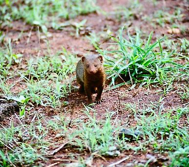 Eastern Dwarf Mongoose 01a, Kenya, 12_88
