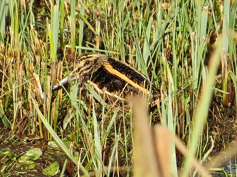 Jack Snipe 190108-04, Slimbridge.jpg