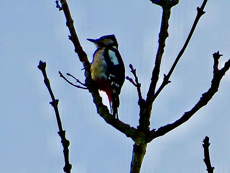 Great Spotted Woodpecker 01, CVL, 13-10-