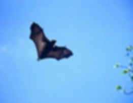 Madagascar Fruit Bat 05a, Berenty, 6_11_
