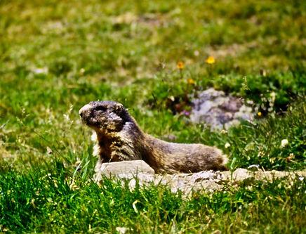 Alpine Marmot 02a, Italy, 8_97.jpg