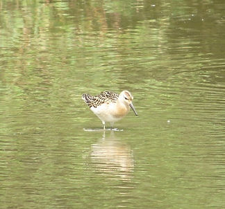 Ruff 03a, Slimbridge, 13_9_14.jpg