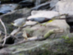 Grey Wagtail 17_7-11, Snuff Mills, 19_7_