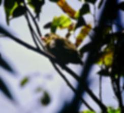 Sakalava Weaver 03a, Perinet, Madagascar