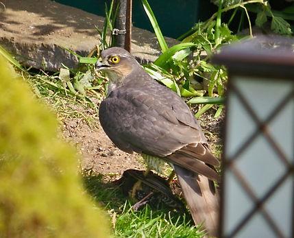 Sparrowhawk 03, Elm Lodge, 18-4-21.jpeg