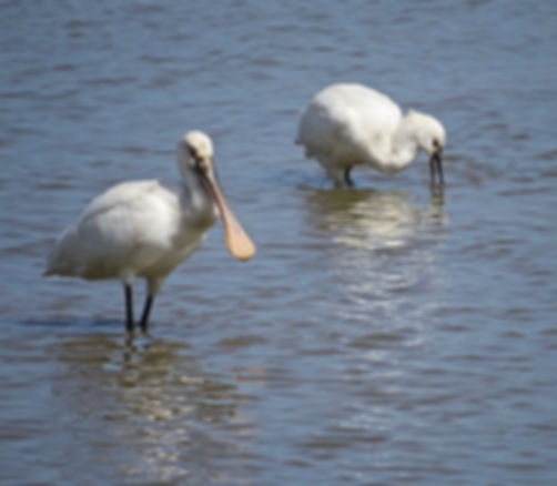 Spoonbill 180624-19, Slimbridge, 24_6_18