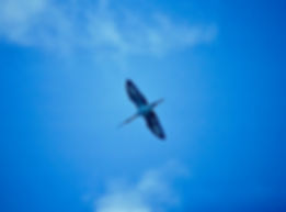 White Ibis 08a, Carolina, 24-10-87.jpg