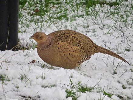 Common Pheasant 02, female, Elm Lodge, 1