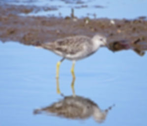 Lesser Yellowlegs 190326-21, Lodmoor.jpg