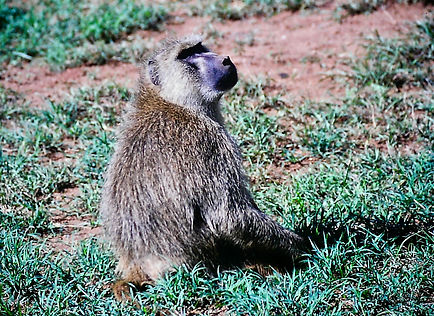 Yellow Baboon 03a, Tsavo, Kenya, 4_12_88