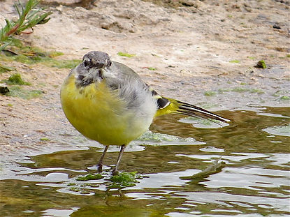Grey Wagtail 17804, Slimbridge, 8_8_17.j