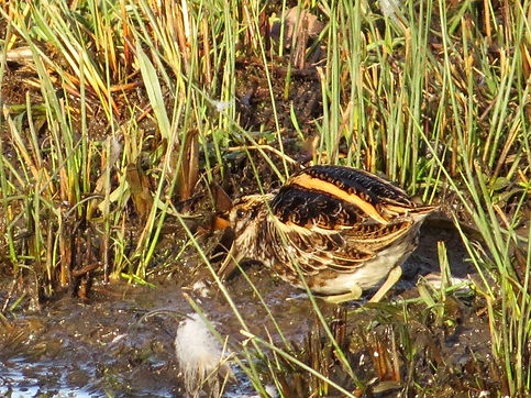 Jack Snipe 190108-15, Slimbridge.jpg