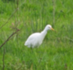 Cattle Egret 191022-06, Catcott Lows.jpg