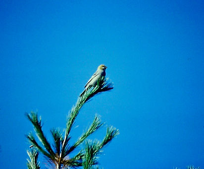 Pine Grosbeak 01a, Ontario, 11-11-87.jpg