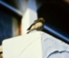 Pied Wheatear 02a, Torquay, 6-12-83.jpg