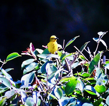 Holub's Golden Weaver 01a, Nairobi, Dec'