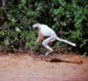 Verreaux's Sifaka 22a, Berenty, Madagasc