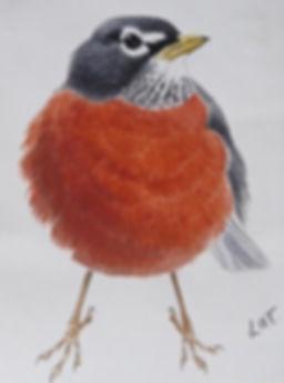 American Robin, LAT, St Agnes, 22_10_76.