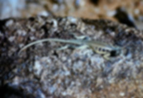 Madagascar Spiny-tailed Iguana 01a, Mada
