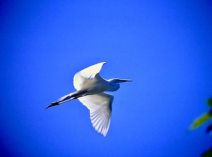 Great White Egret 01a, Madagascar, 2-11-