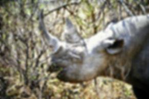 Black Rhinoceros 07a, Zimbabwe, 9_98.jpg