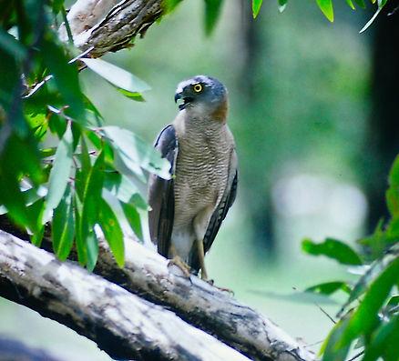 Collared Sparrowhawk 03a, Kakadu, Oz, 29