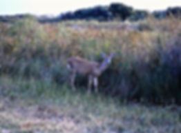 White-tailed Deer 02a, Maryland, 10_87.j